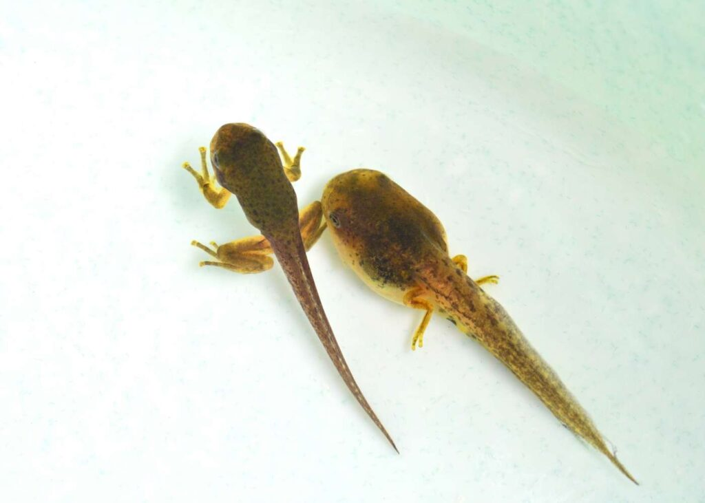 froglet next to a tapdole with backlegs pale white background