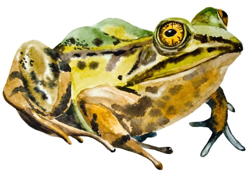 colorful adult bull frog painted in watercolor paint