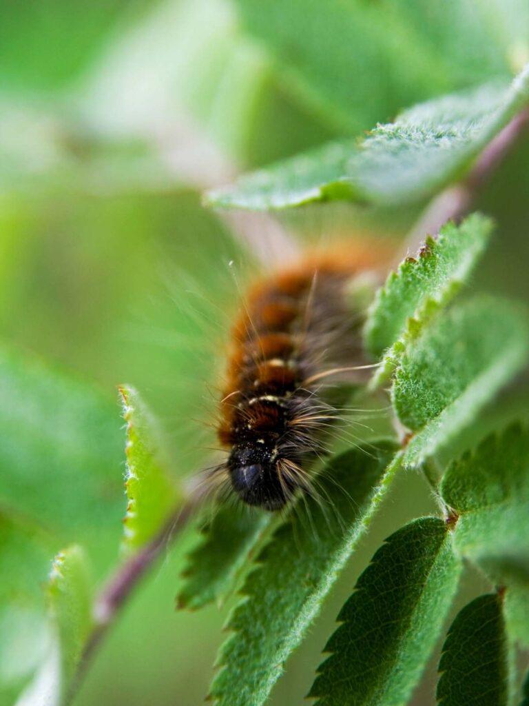 fuzzy orange and black caterpillar on a green leaf