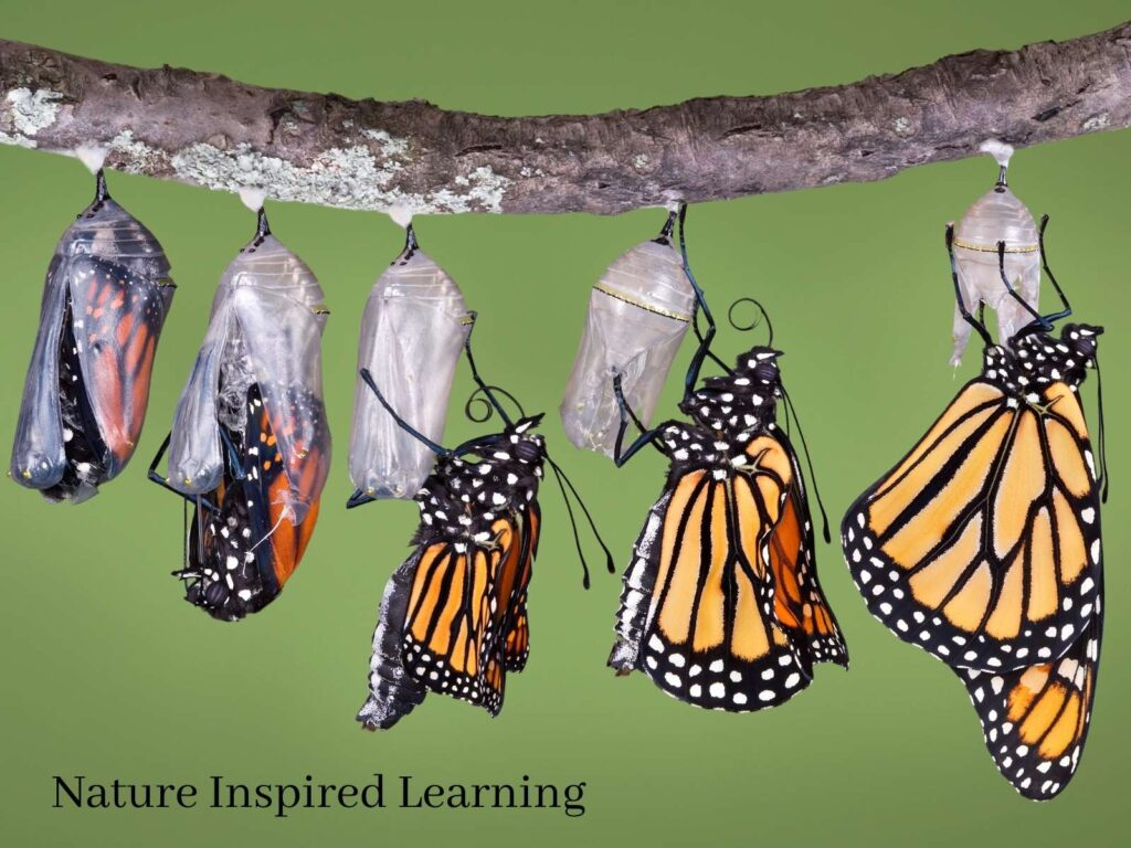 5 stages of a monarch butterfly hatching from a chrysalis hanging from a branch