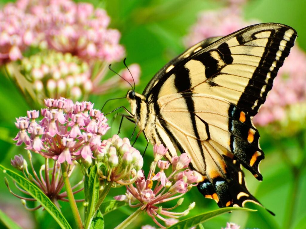 yellow swallow tail butterfly on a pink milkweed plant drinking nectar from flower