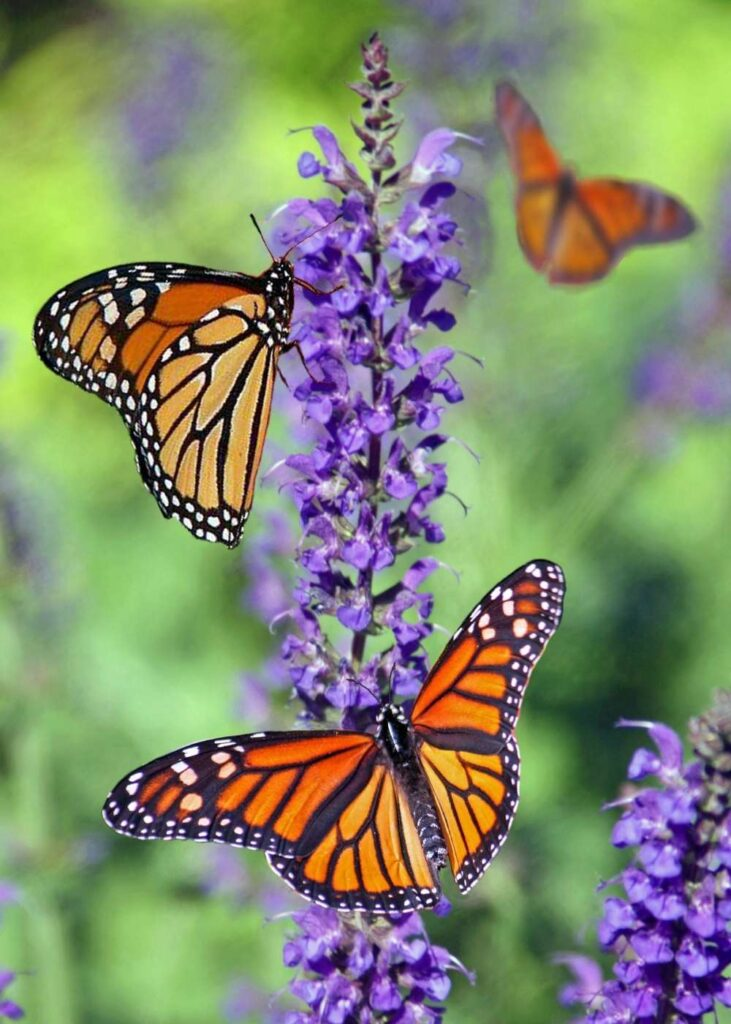 tall purple flowers with two monarch butterflies on petals one monarch in background flying
