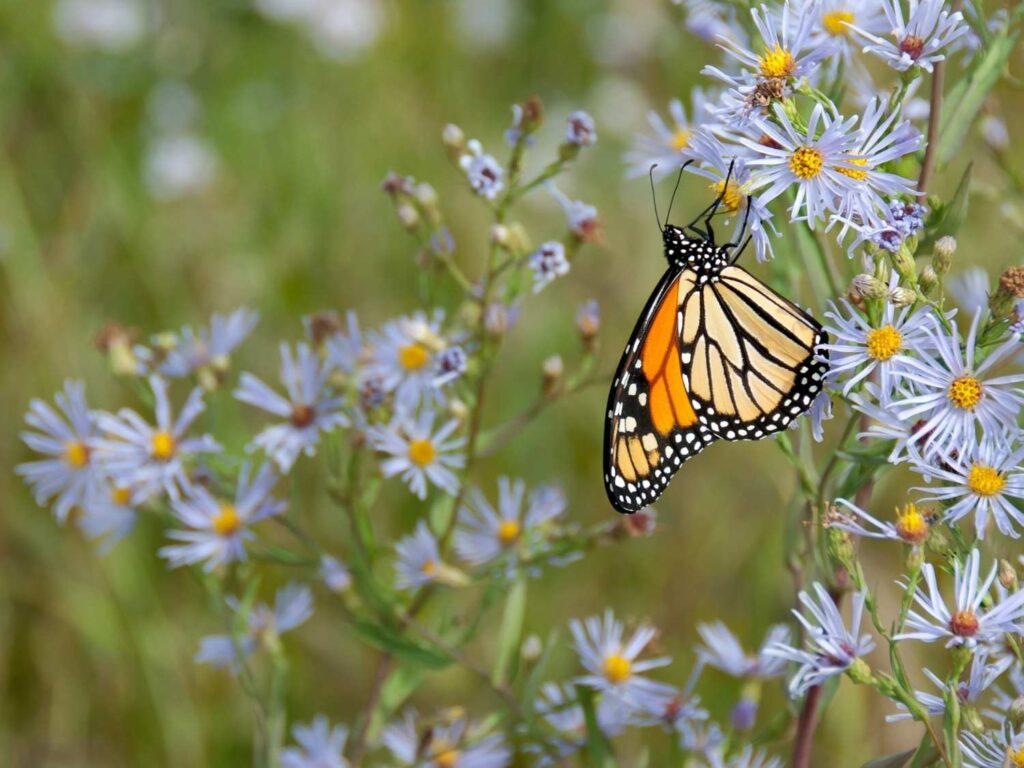 monarch butterfly on a light blue aster outside in a field of asters