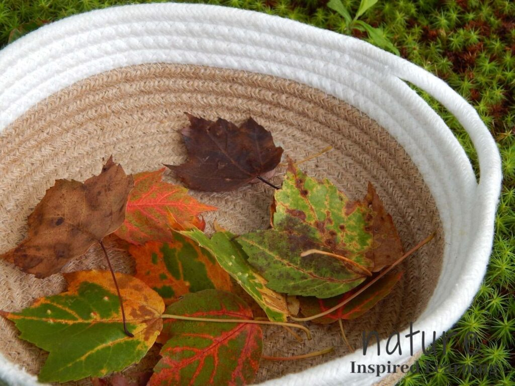 a shallow fabric basket with white stripe holding a collection of different colored fall leaves outside on the green mossy ground