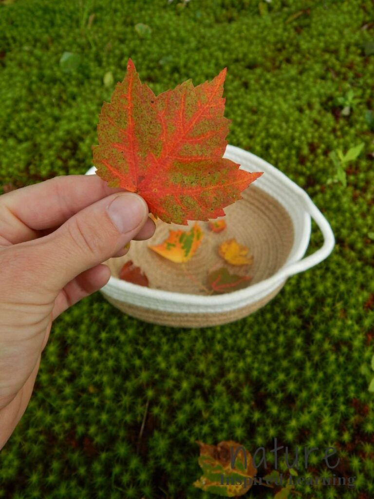 hand holding a colorful maple leaf outside with green moss on the ground and a basket with colorful leaves in it