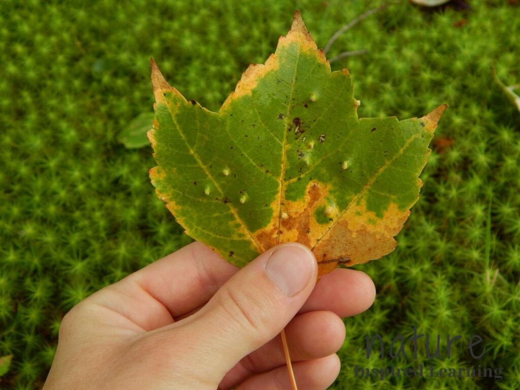 hand holding up a green and yellow maple leaf with insect bumps with green moss in the background