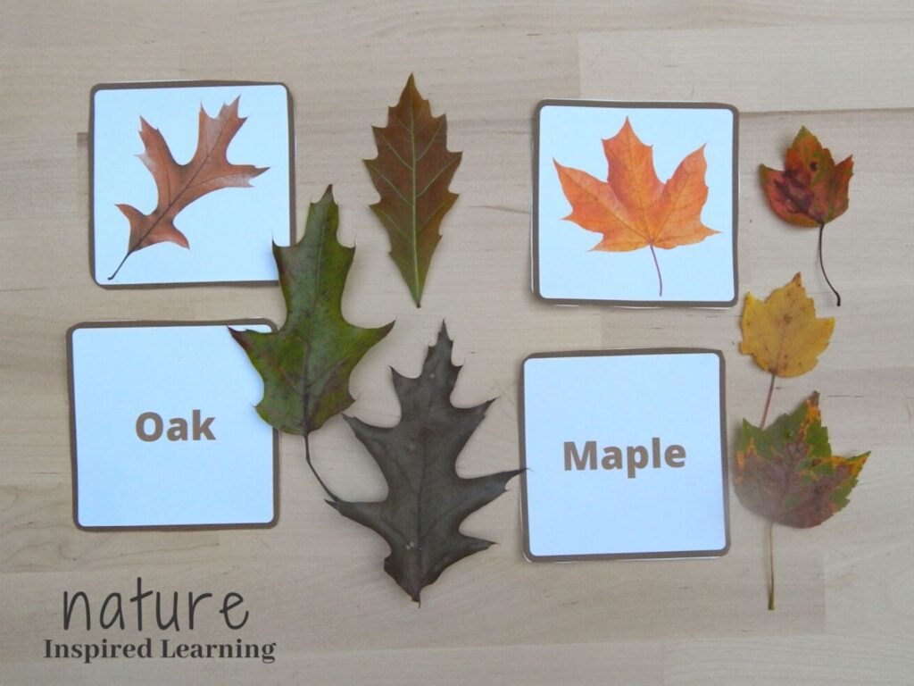 fall oak leaf and maple leaf identification cards one real life photograph one with text with three real life fall leaves for each species on a wooden table next the the ID cards nature inspired learning bottom corner