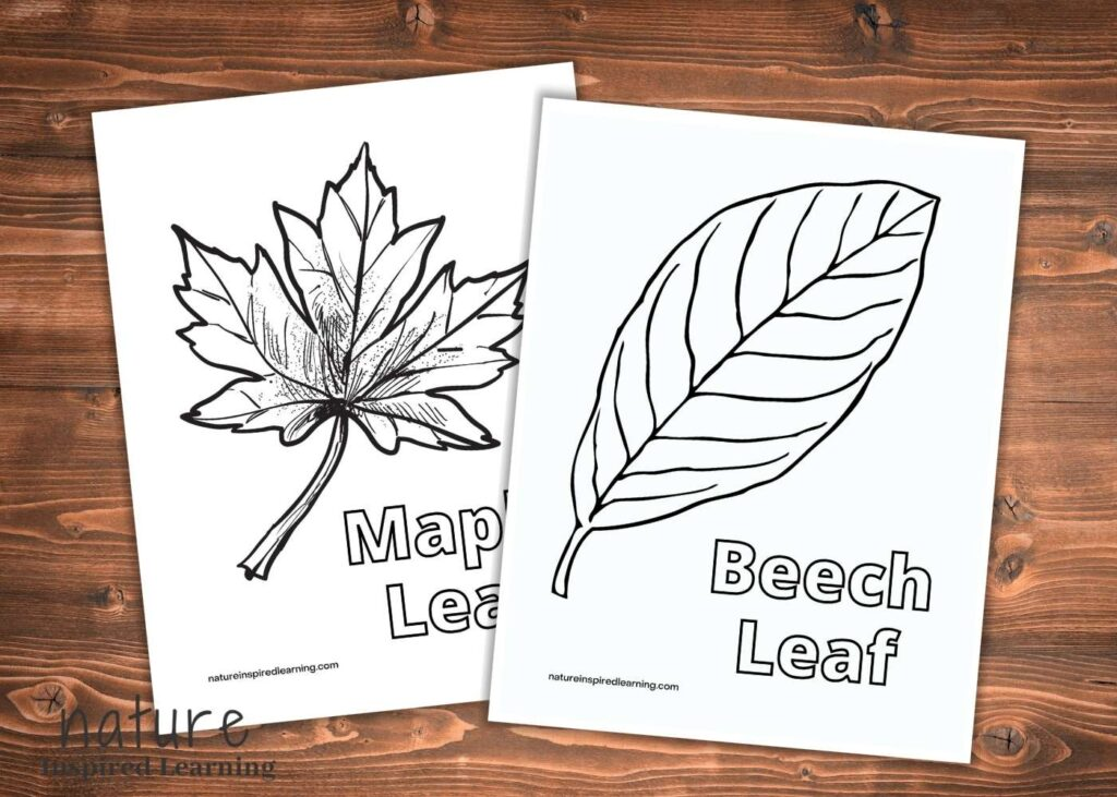 two fall leaf coloring pages one with a beech leaf with text beech leaf another with a large maple leaf overlapping on wooden background text nature inspired learning bottom corner