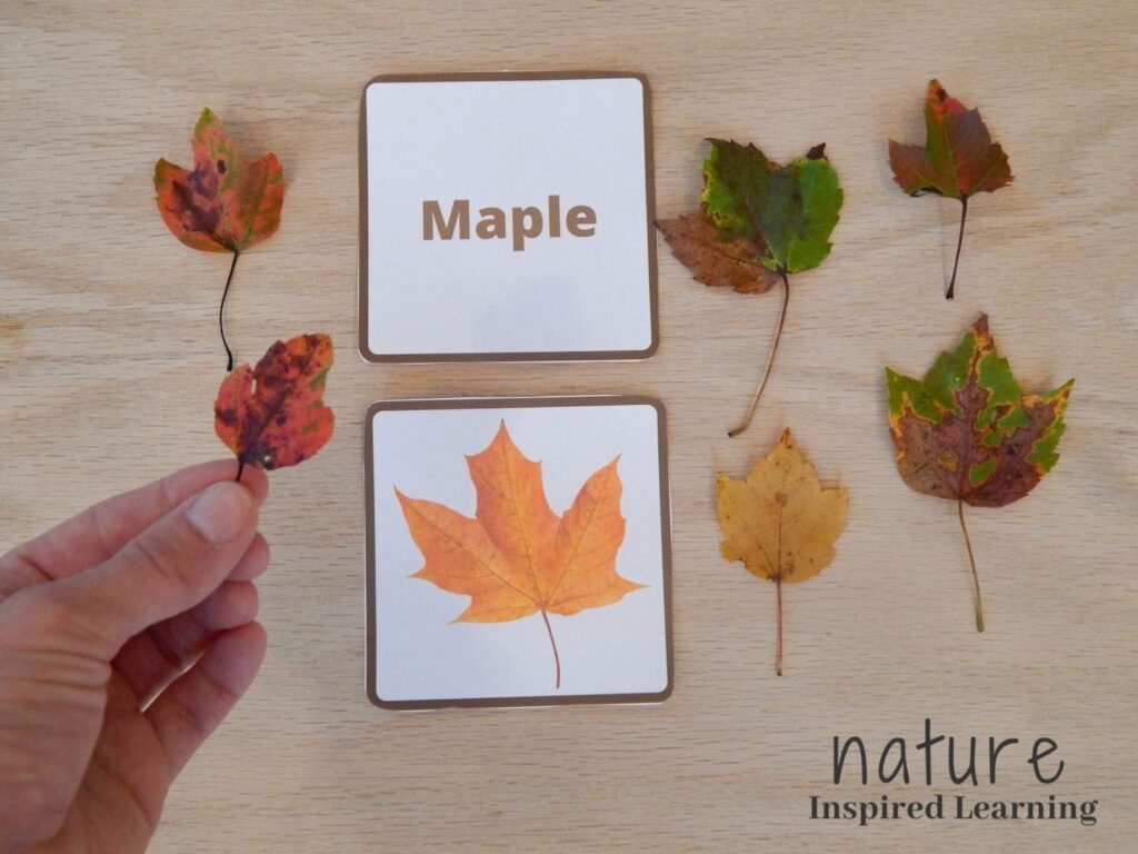 a hand holding up a small red and orange maple leaf over a wooden table with maple leaf identification cards with five real maple leaves in different shades of yellow, green, red, and brown