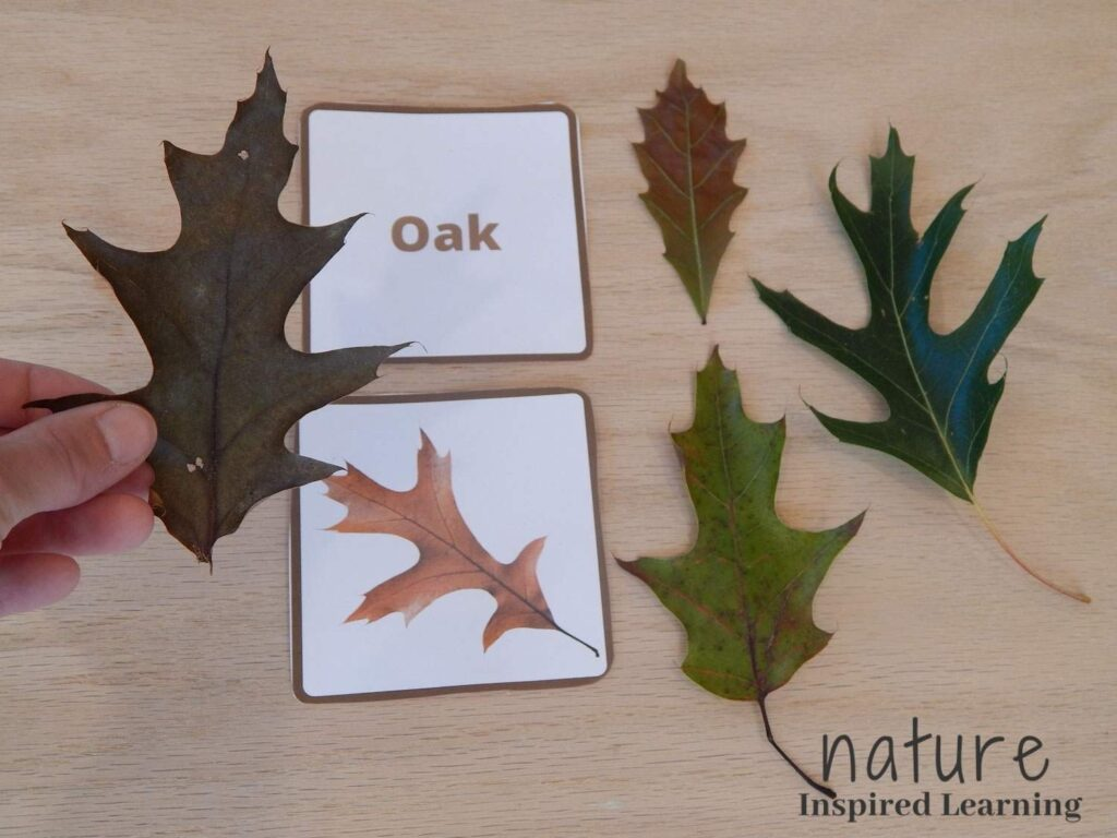 hand holding a dark oak leaf over a wooden table with oak leaf identification cards with three more real oak leaves in different colors