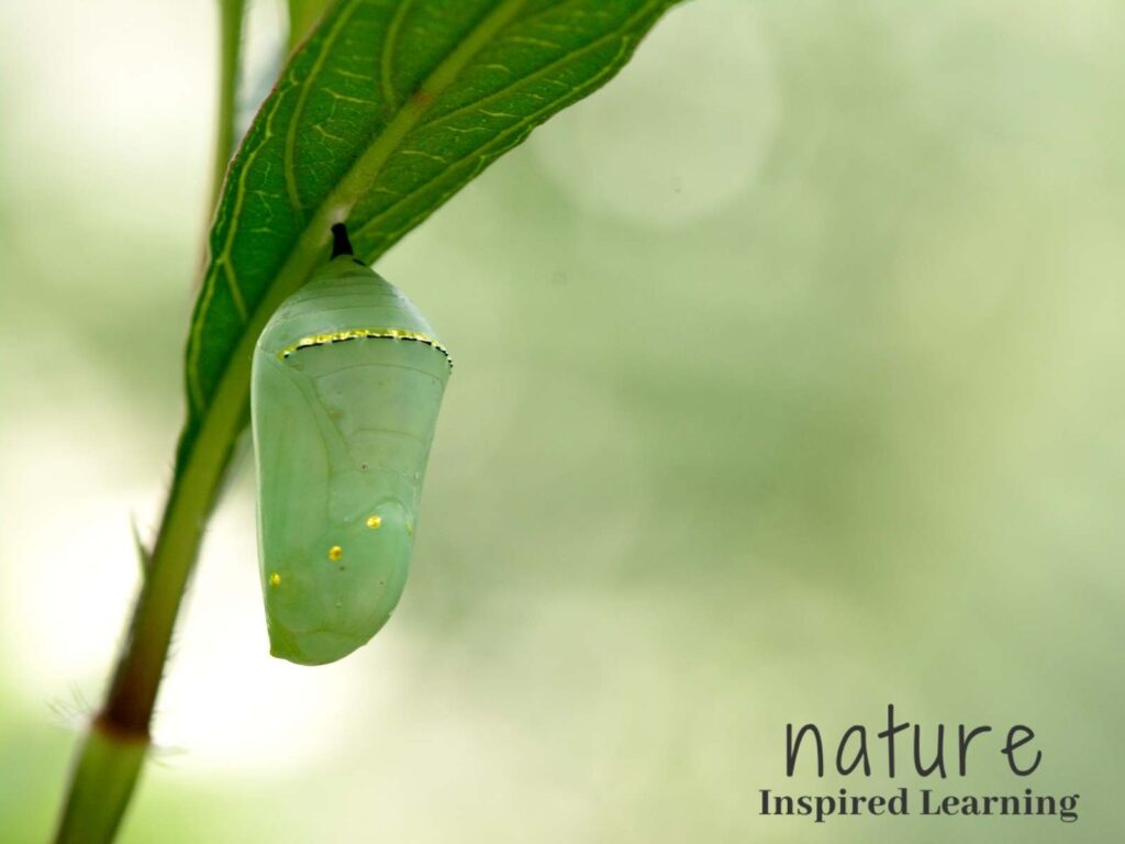 green chrysalis hanging from a green leaf with the text nature inspired learning bottom right corner