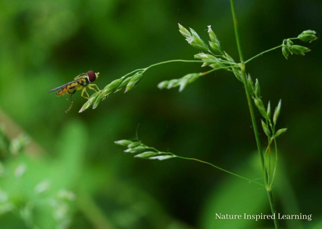 a small hover fly with big brown eyes resting on the seed head of a blade of grass