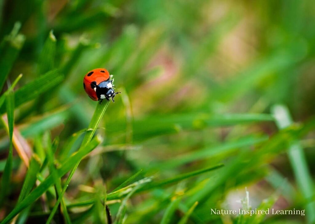 a reddish orange ladybug on top of a blade of grass in the lawn
