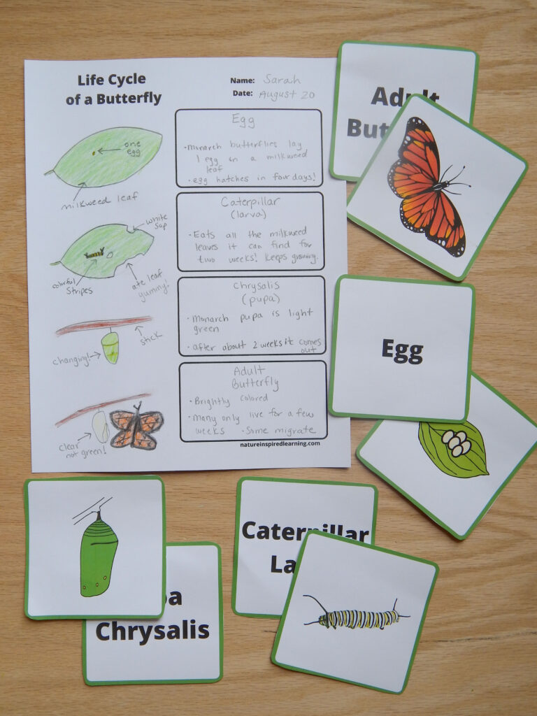 life cycle of a butterfly printable worksheet filled out with images to show the life cycle of a monarch butterfly butterfly stages part cards text with images of stages cut out on wooden table