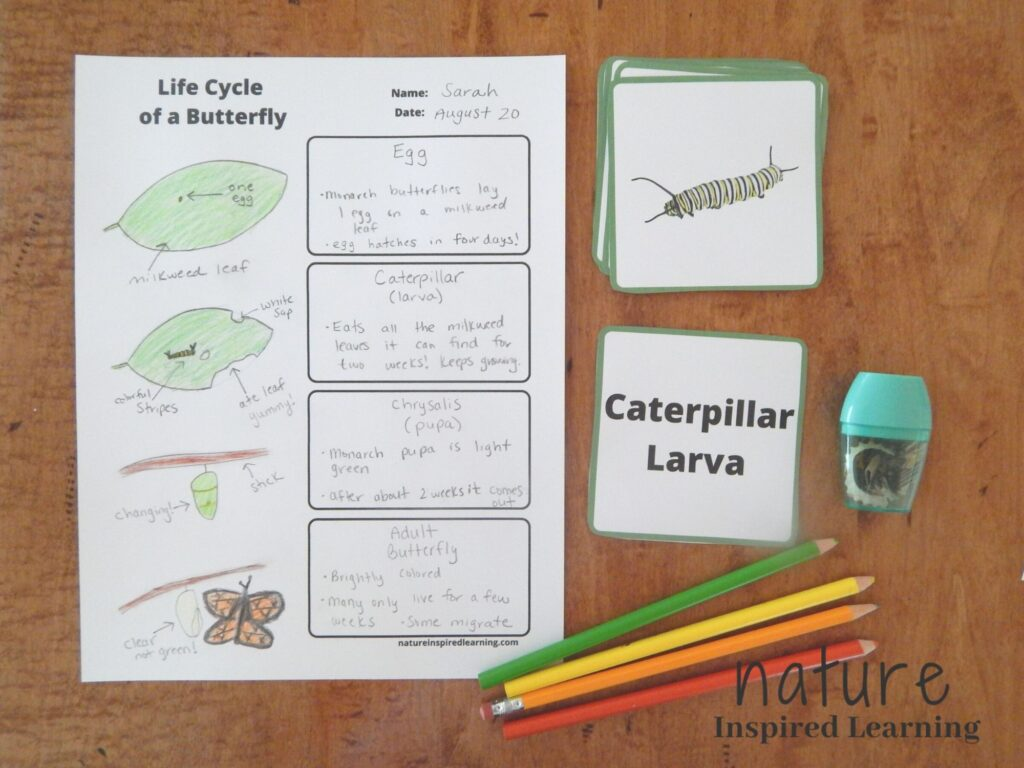 Life cycle of a butterfly printable filled out with images and text on a table with butterfly sorting cards four colored pencils and a hand held pencil sharpener on a wooden table