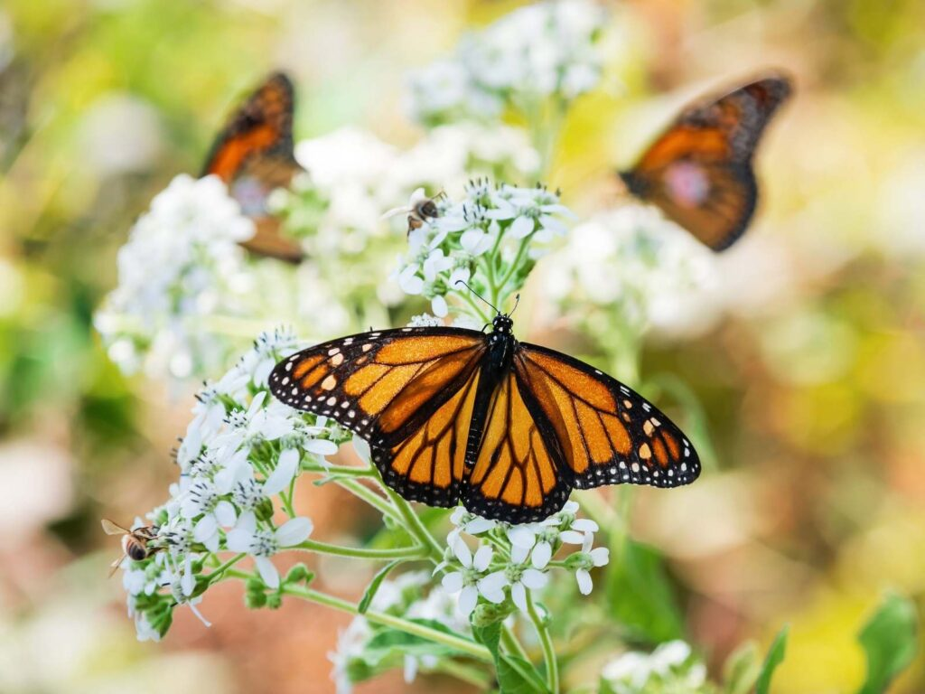 monarch butterfly on a white flower two more monarchs in the background on flowers