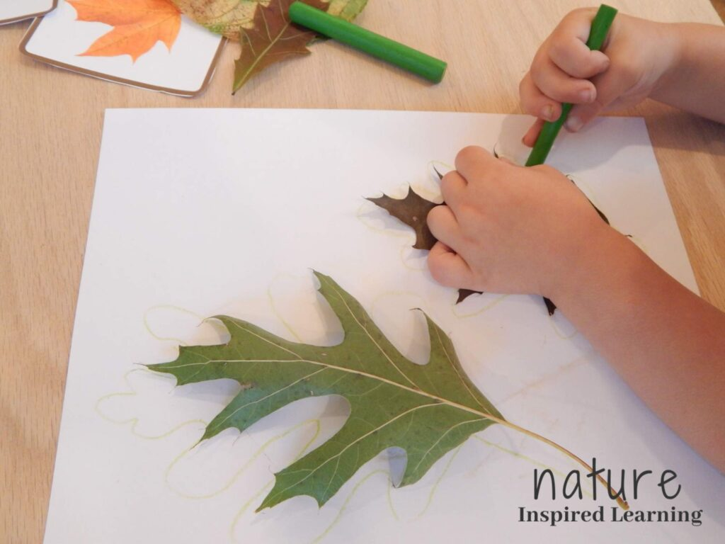 toddler holding a green crayon while holding down a fall oak leaf with the other on a piece of white paper second green oak leaf with green outline on the paper more leaf tracing supplies in upper corner