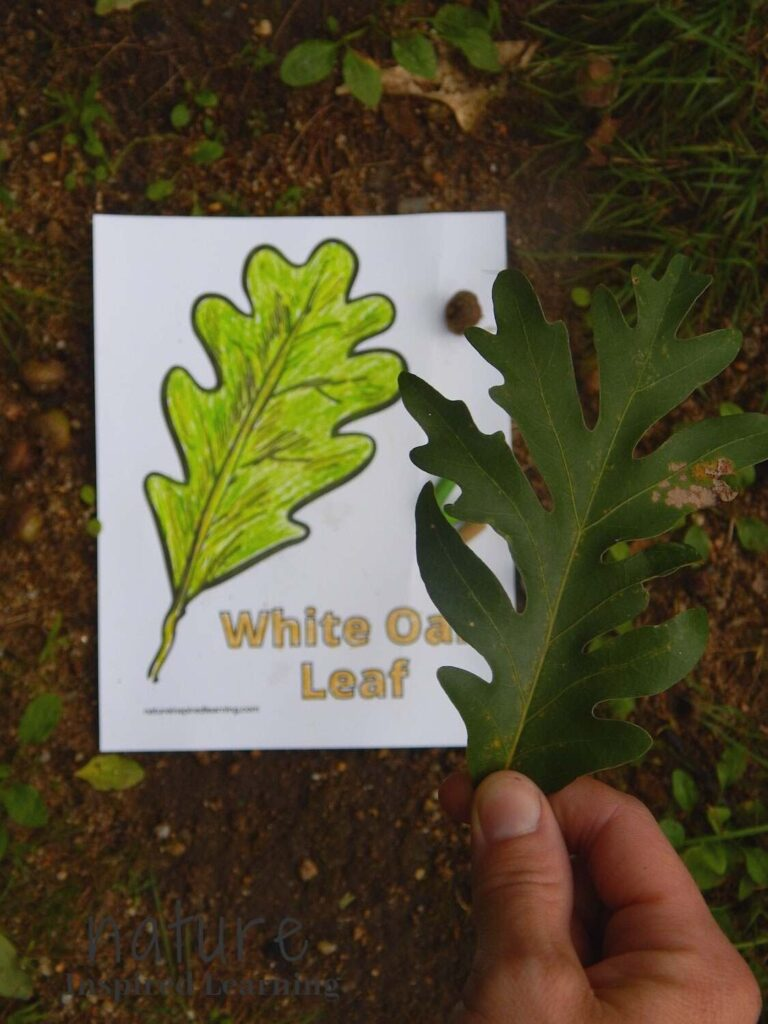 hand holding a green oak leave over a white oak leaf coloring page colored in with green and brown on the ground outside in a forest