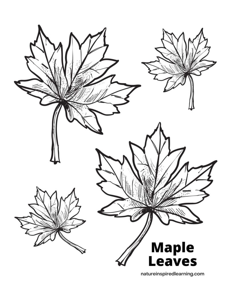 four maple leaves of different sizes on a coloring page with the text Maple Leaves in the bottom corner