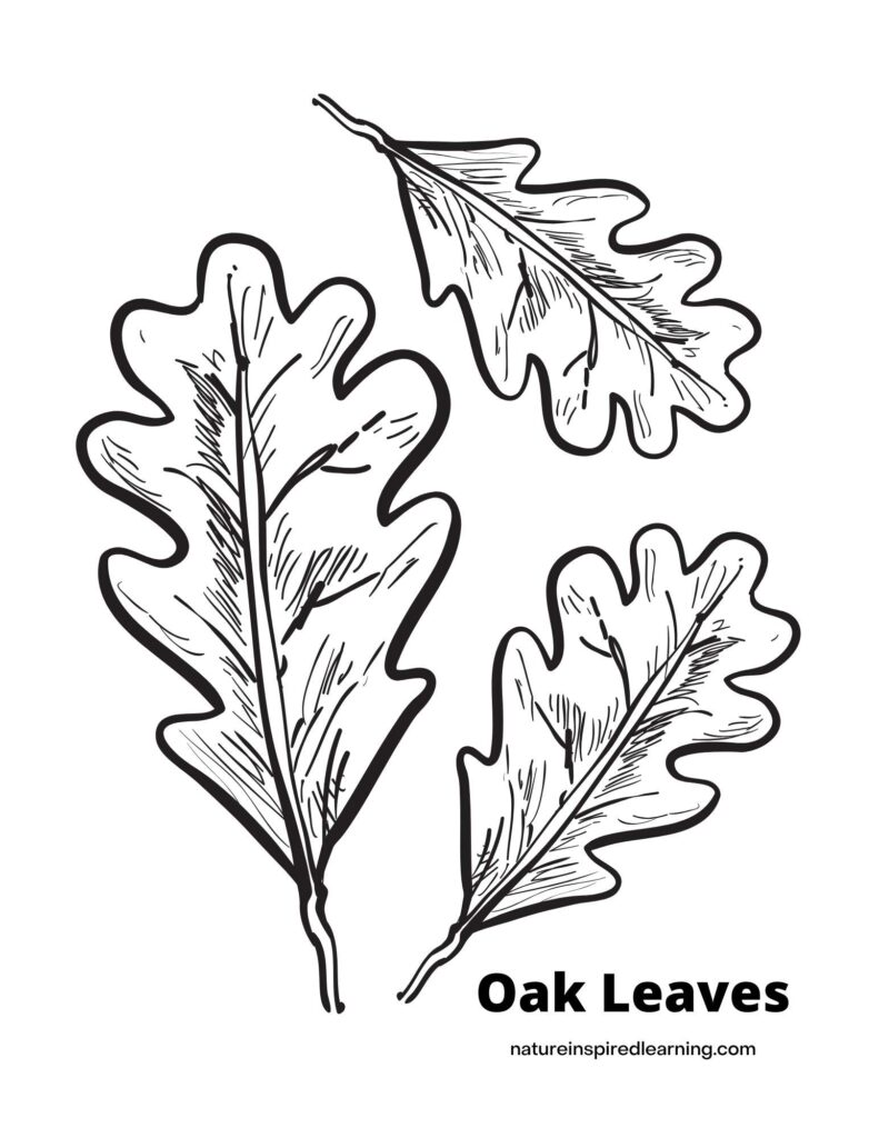 three oak leaves of different sizes with text Oak Leaves in bottom corner coloring page