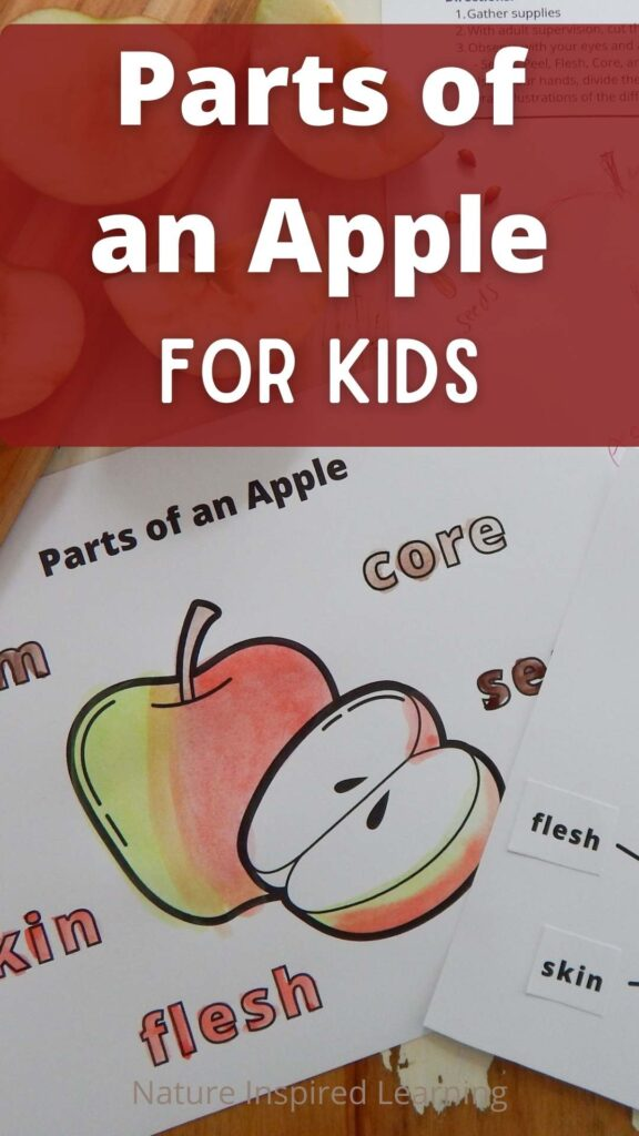 Parts of an Apple for Kids text written in white on red background with parts of an apple printable colored in below