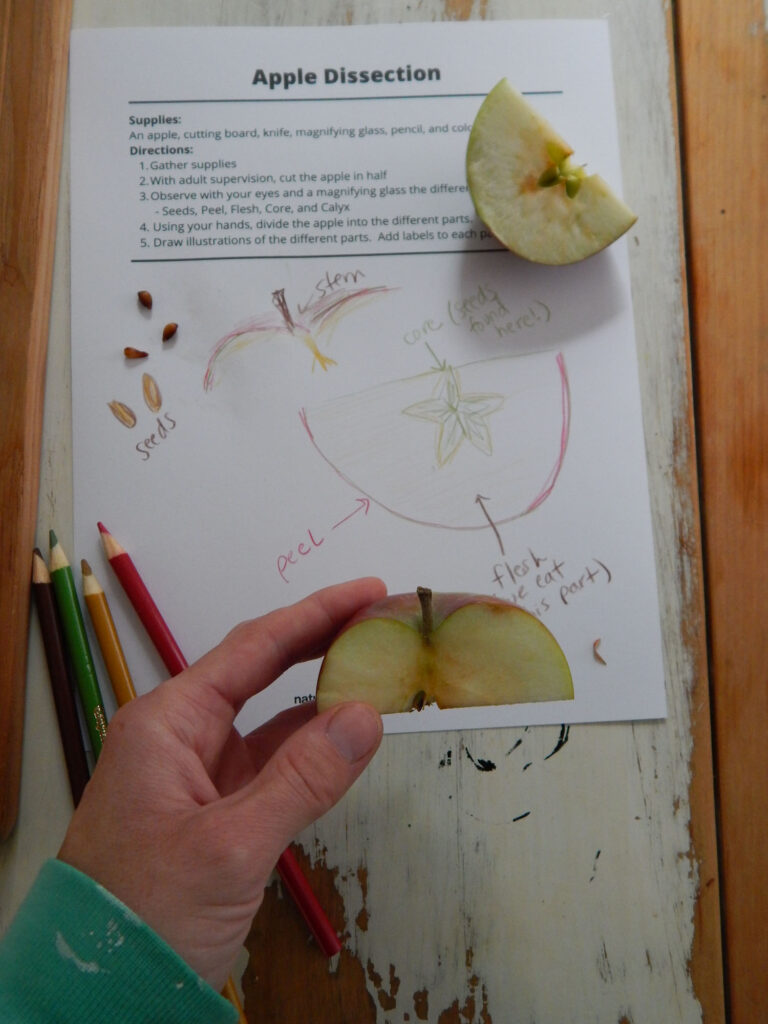 wearing a teal shirt holding a cut up apple over an apple dissection worksheet with hand drawn apple diagrams, three real apple seeds, a large part of an apple, and four colored pencils all on a wooden table.