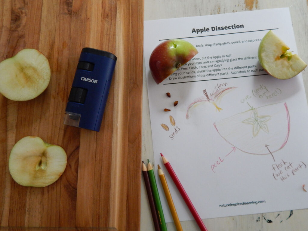 two pieces of an apple cut and browning on an apple dissection worksheet hand drawn apple drawings with labels four colored pencils next to a wooden cutting board with Carson field microscope and two large apple slices browning