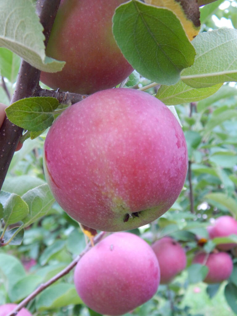seven red macintosh apples on an apple tree with green leaves calyx of apple showing on the apple in the center