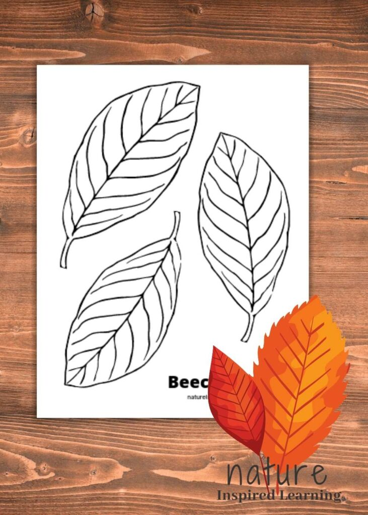 a leaf coloring page with three Beech leaves on it on a wooden table with two red orange leaf clipart in bottom corner with text Beech nature inspired learning
