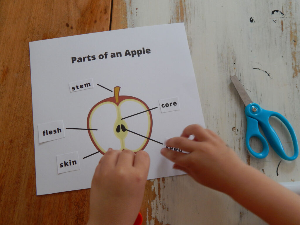 child's hands gluing down parts of an apple cut and past part cards on an apple on a printed out apple worksheet blue Friskers safety scissors and glue stick on table next to printable