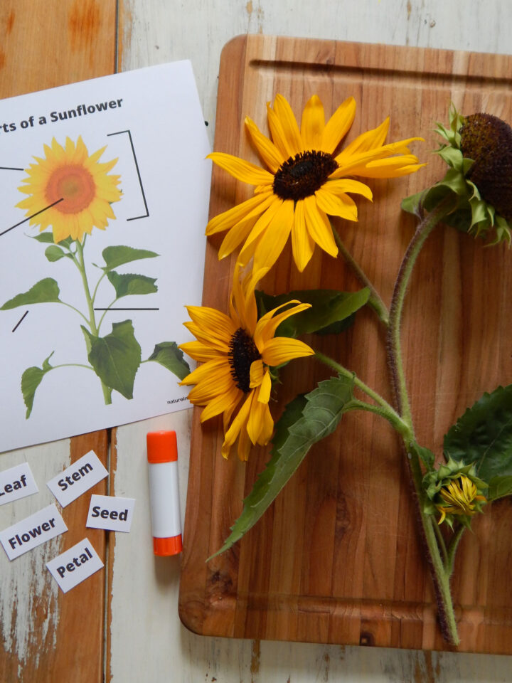parts of a sunflower cut and past worksheet for kids on a wooden table with parts cut out glue stick and a wooden cutting board with a sunflower stem with four real sunflowers on it