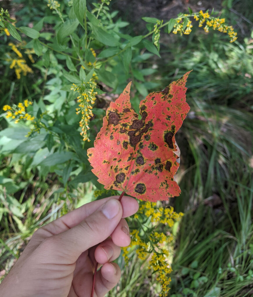 hand holding up a spotted red maple leaf with long grass and blooming goldenrod in the background