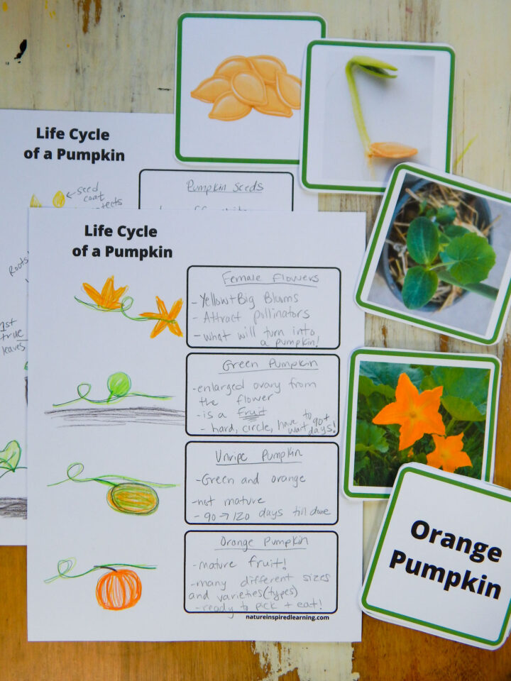 Life Cycle of a pumpkin worksheet with life stages fill out in pencil hand drawings for each stage in colored pencil. Pumpkin life cycle cards seeds, sprout, small plant, female flowers and vocab card orange pumpkin to the right of the worksheets all on a wooden table