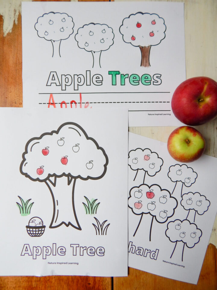 three apple tree coloring pages printed off overlapping on a wooden table with two apples red and green paint colored on the sheets